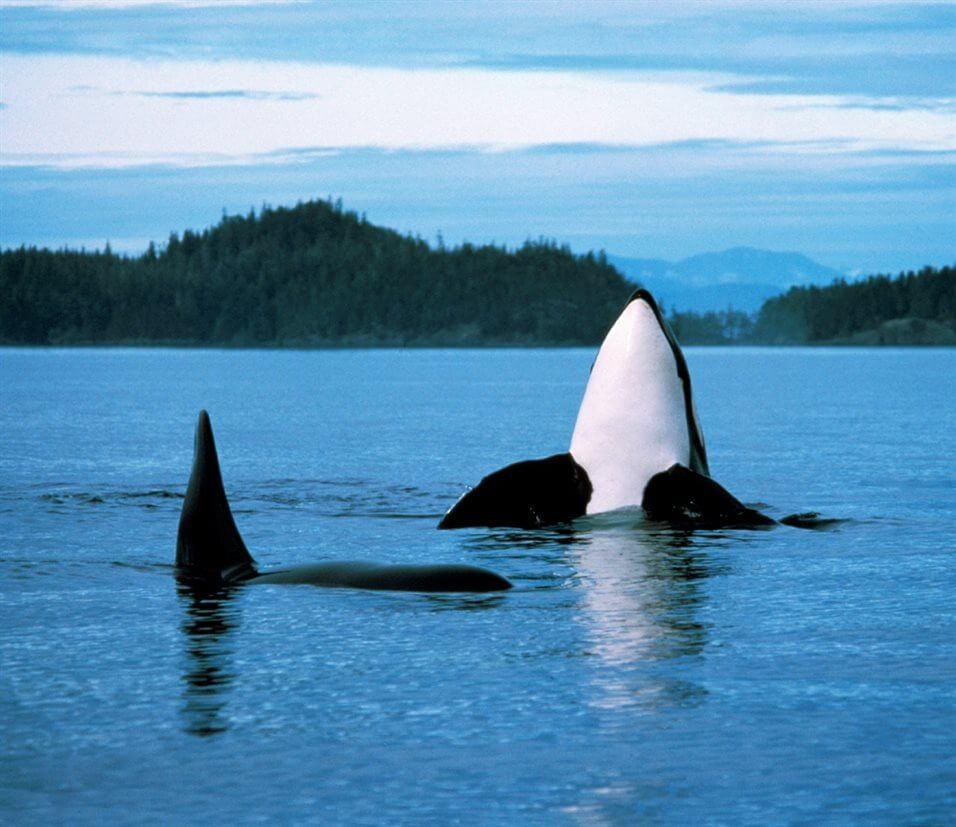 Orca Vancouver Island 4