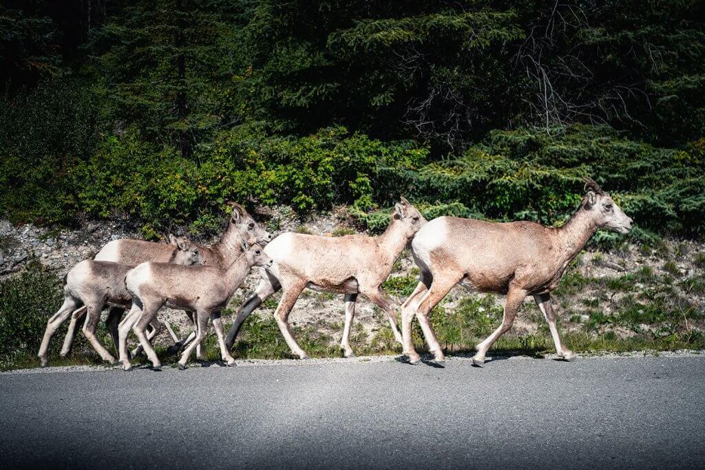 Banff evening wildlife safari
