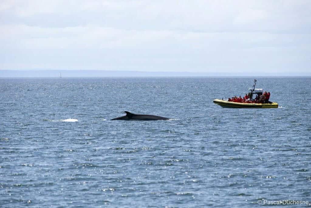 Tadoussac Whale Watching photo credit Pascal Duchesne & Croisières AML