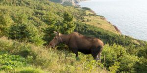 cabot trail header with moose