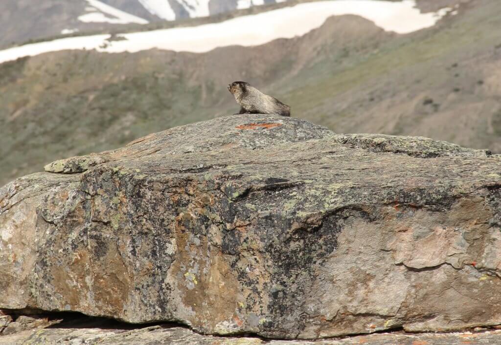 Jasper Skytram Marmot