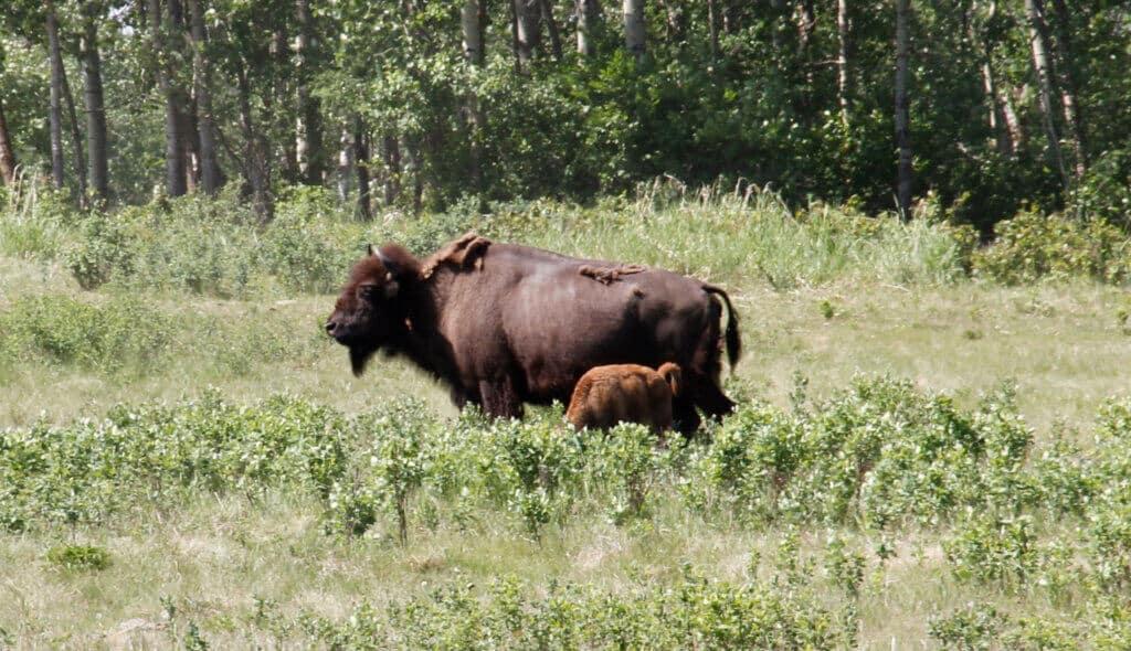 Elk Island Bison en jong